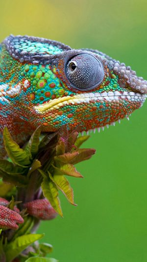 Colored Lizard iPhone 7 wallpaper