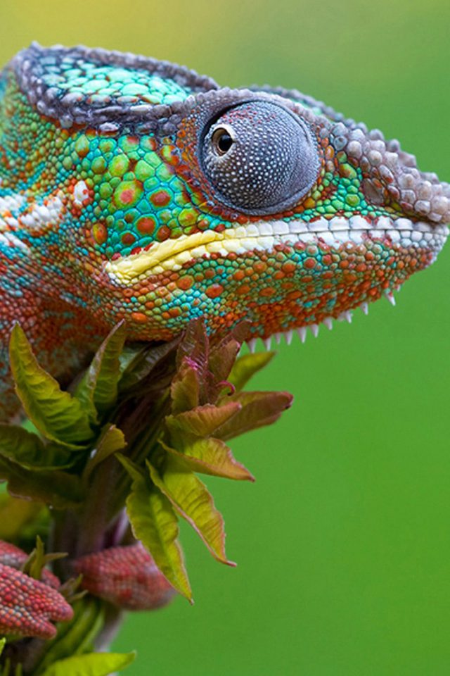 Colored Lizard Iphone 7 Wallpaper Iphone7wallpapers Co