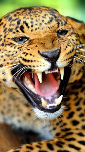 Crazy Angry Leopard iPhone 7 wallpaper