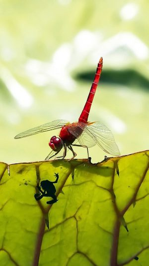 Red Dragonfly iPhone 7 wallpaper