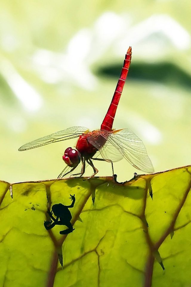 Red Dragonfly iPhone 7 wallpaper - iPhone7wallpapers co