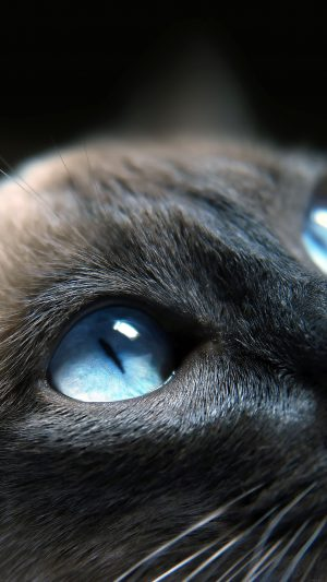 Cats Blue Eye Cute iPhone 7 wallpaper