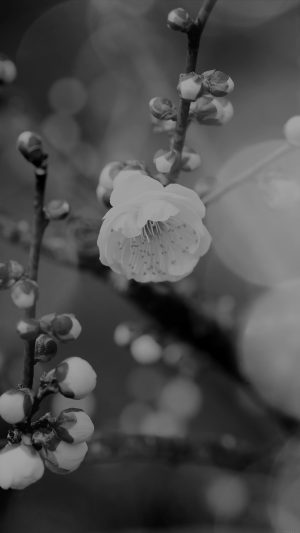 Apricot Flower Bud Dark Spring Nature Twigs Tree iPhone 7 wallpaper