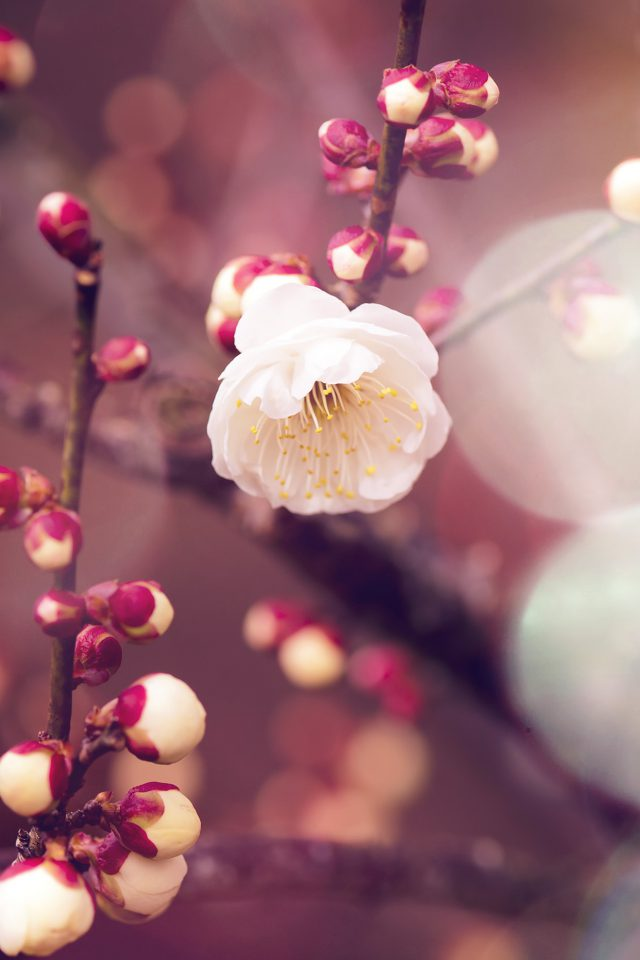 Apricot Flower Bud Flare Spring Nature Twigs Tree Iphone 7 Wallpaper