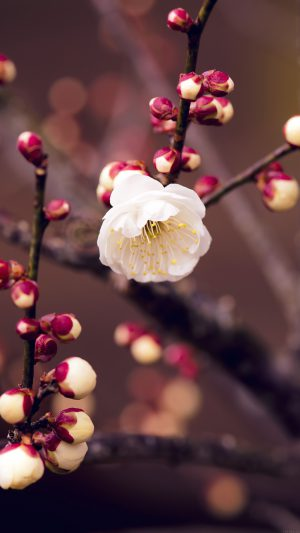 Apricot Flower Bud Spring Nature Twigs Tree iPhone 7 wallpaper