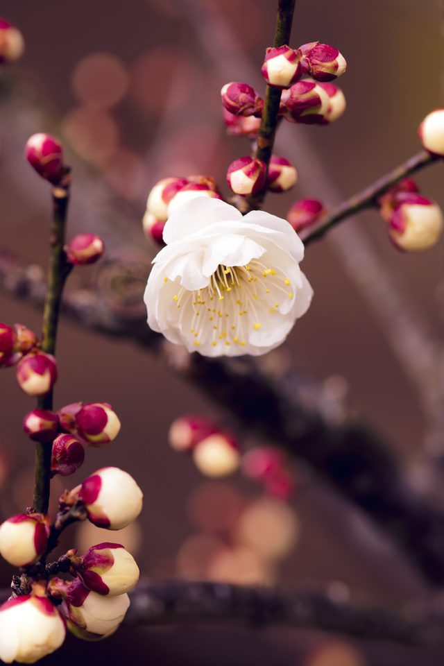 Apricot Flower Bud Spring Nature Twigs Tree iPhone wallpaper