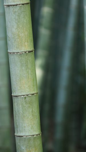 Bamboo Nature Tree Green iPhone 7 wallpaper