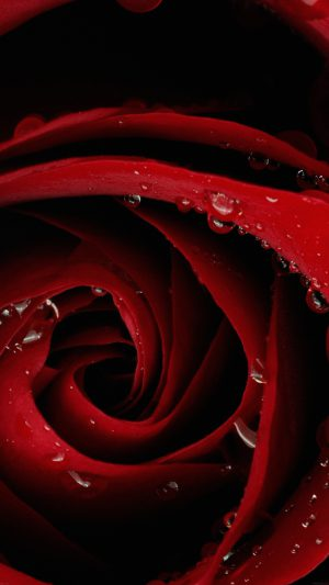 Beautiful Red Rose Flower Nature iPhone 7 wallpaper