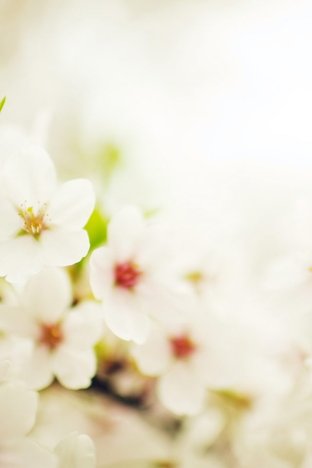 Blossom Cherry Spring Sakura Nature Flower iPhone wallpaper