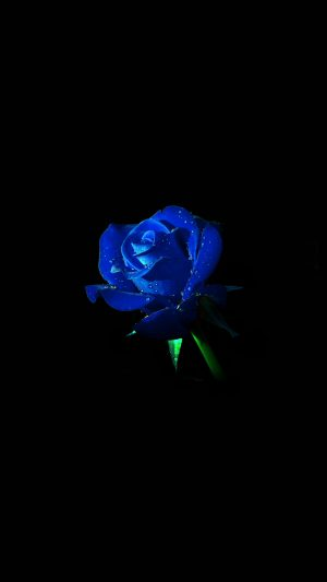 Blue Rose Dark Flower Nature iPhone 7 wallpaper
