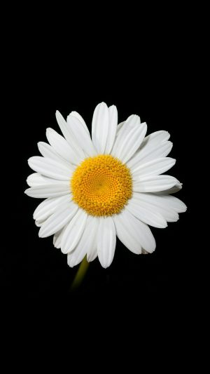 Daisy Flower Dark Nature iPhone 7 wallpaper