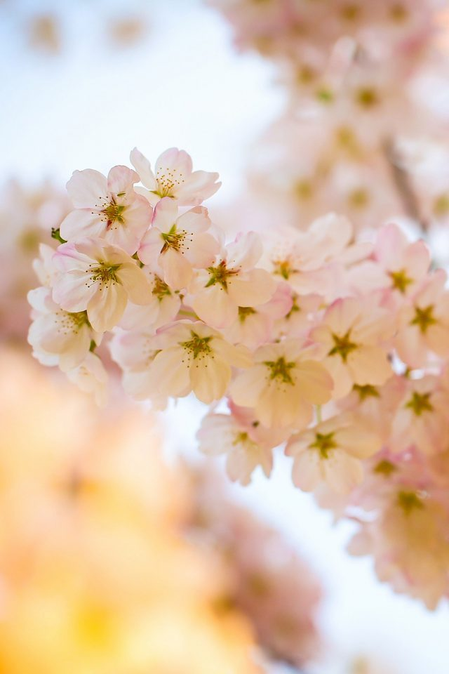 Flower Blossom Cherry Tree Nature iPhone wallpaper