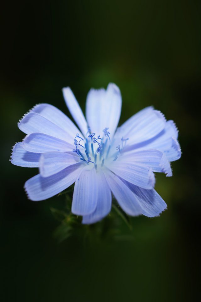 Flower Blue Spring New Life Nature Dark iPhone wallpaper