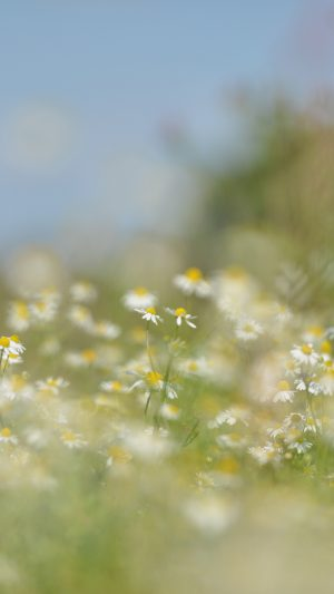 Flower Bokeh White Spring Nature iPhone 7 wallpaper