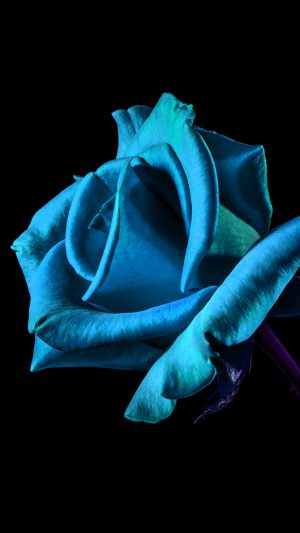 Flower Rose Blue Dark Beautiful Best Nature iPhone 7 wallpaper