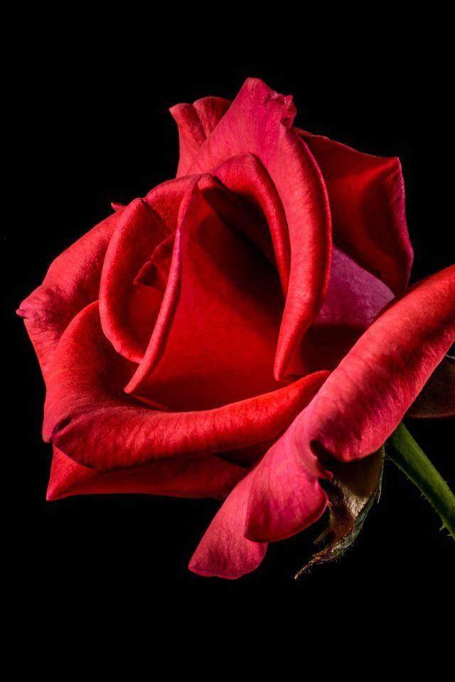 Flower Rose Red Dark Beautiful Best Nature Iphone 7