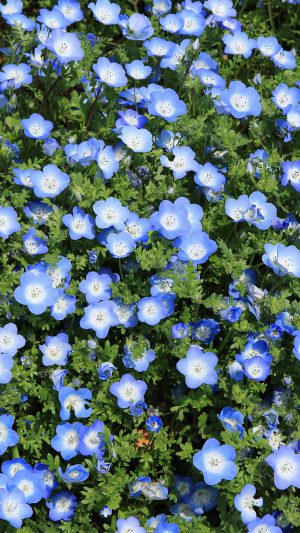 Flower Spring Blue Nature iPhone 7 wallpaper