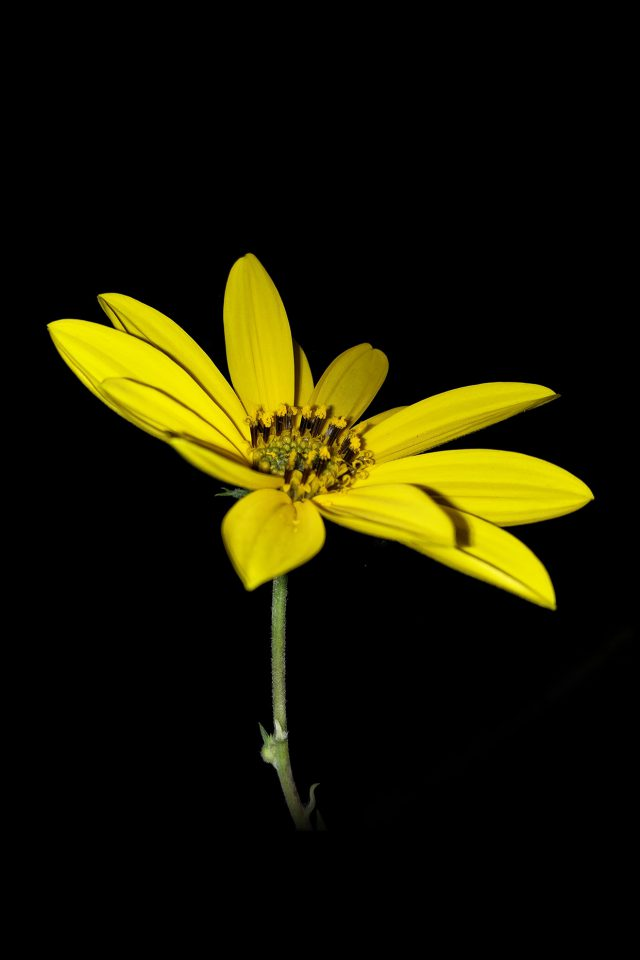 Flower Yellow Nature Art Dark Minimal Simple iPhone wallpaper