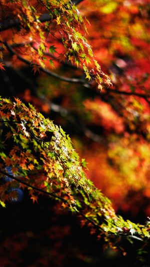 Japanese Maple Tree Fall Nature iPhone 7 wallpaper