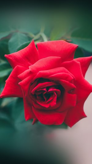 Red Rose Nature Flower Wood Love Valentine iPhone 7 wallpaper