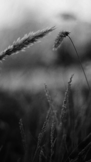 Reed Flower Nature Field Bw iPhone 7 wallpaper