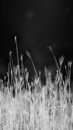 Reed Weed Flower Nature Flare Black Bw iPhone 7 wallpaper
