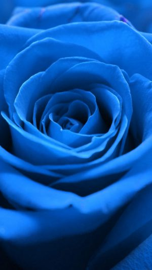 Rose Flower Blue Nature iPhone 7 wallpaper