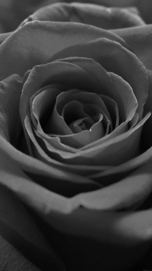 Rose Flower Dark Bw Nature iPhone 7 wallpaper