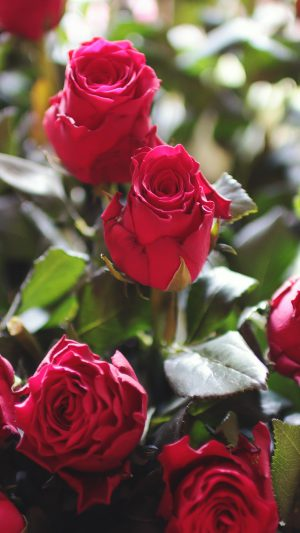 Rose Flower Gift Red Nature iPhone 7 wallpaper