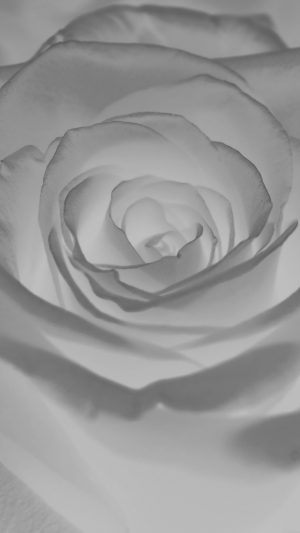 Rose Flower White Nature iPhone 7 wallpaper