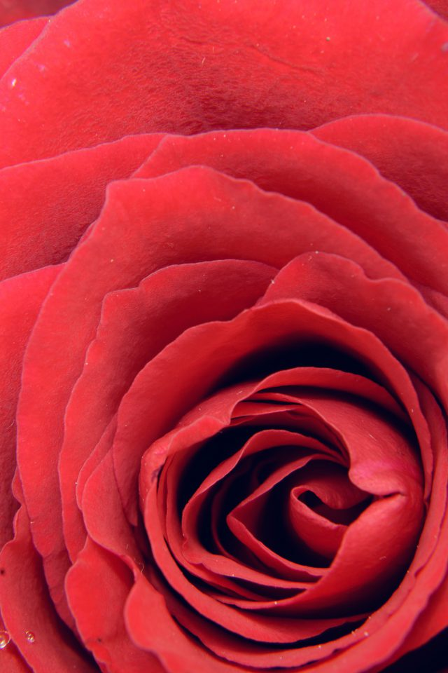Rose Red Flower Nature Love iPhone wallpaper