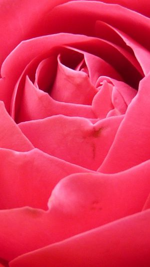 Rose Red Nature Flower iPhone 7 wallpaper