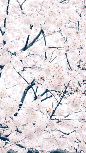 Sakura Cherry Spring Tree Flower Nature iPhone 7 wallpaper