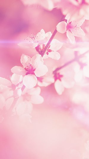 Spring Flower Pink Cherry Blossom Flare Nature iPhone 7 wallpaper