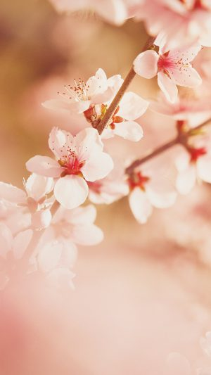 Spring Flower Sullysully Cherry Blossom Nature iPhone 7 wallpaper