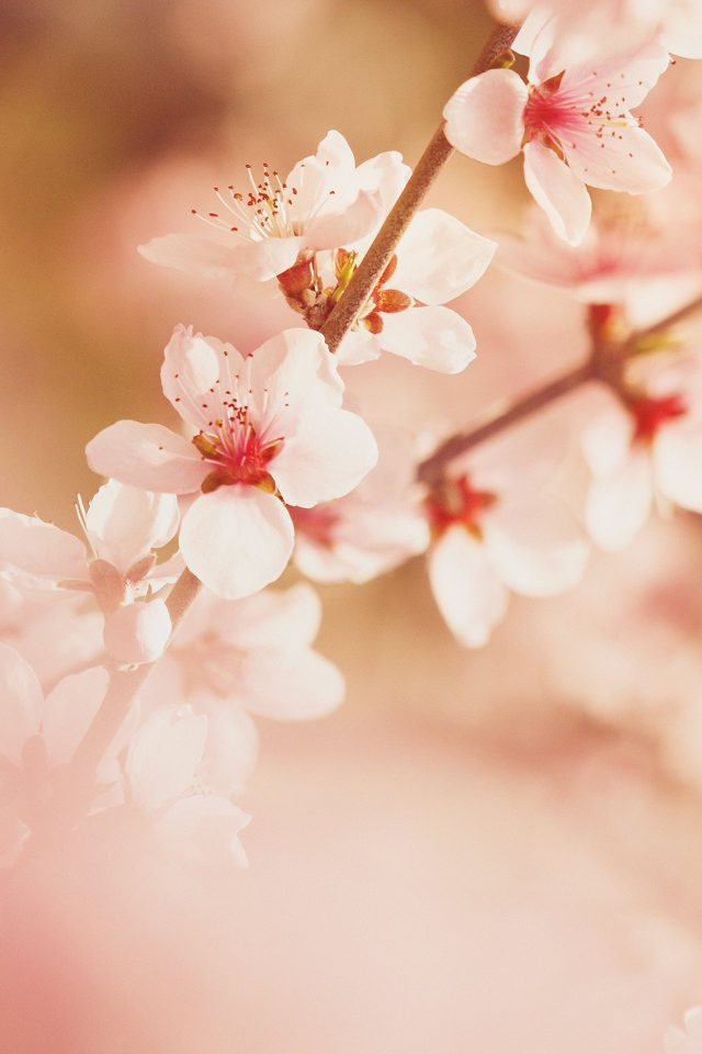 Spring Flower Sullysully Cherry Blossom Nature iPhone wallpaper