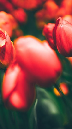 Tulips Red Flower Nature Sprin iPhone 7 wallpaper
