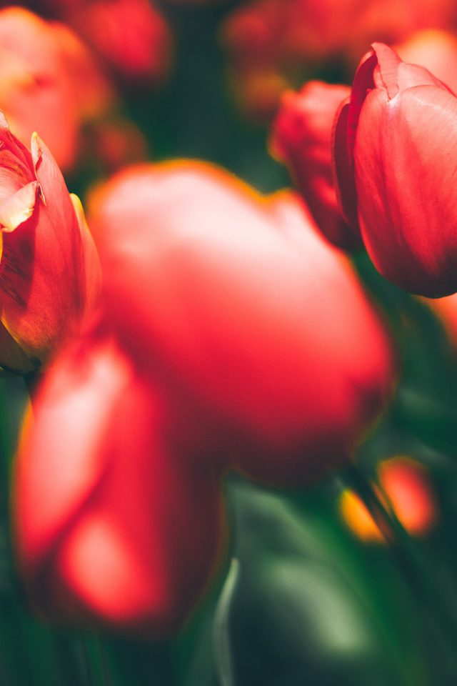 Tulips Red Flower Nature Sprin iPhone wallpaper