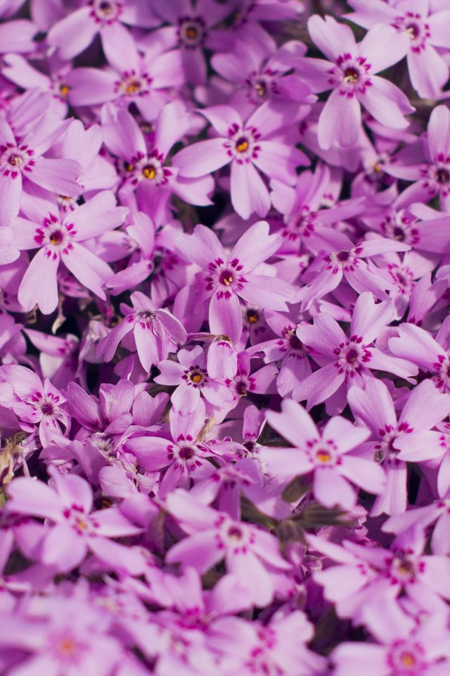 Violet Flower Nature Party Spring Blossom Iphone 7 Wallpaper