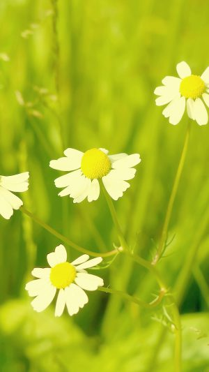 Wallpaper Spring Flower White Grass Nature iPhone 7 wallpaper