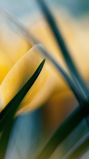 Wallpaper Yellow Crocus Flower Beauty Nature iPhone 7 wallpaper