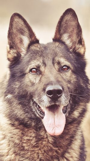 My Shepherds Dog Smile Animal Nature iPhone 7 wallpaper