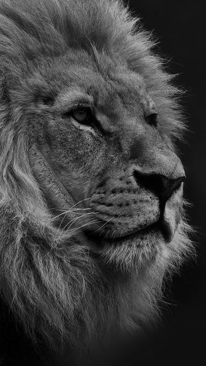National Geographic Nature Animal Lion Dark Bw iPhone 7 wallpaper