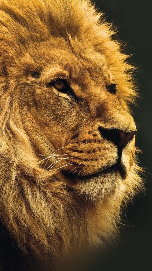 National Geographic Nature Animal Lion Yellow iPhone 7 wallpaper