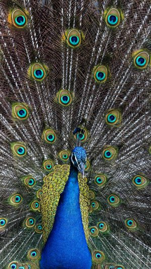 Peacock Animal Bird Art iPhone 7 wallpaper