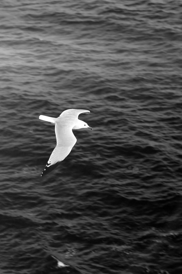 Seagull Bird Sea Ocean Animal Nature Dark iPhone wallpaper
