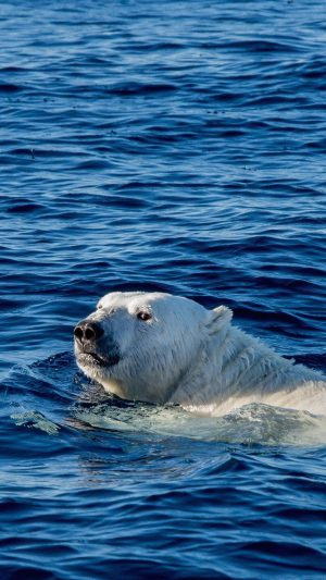 Watch Me Swim Polar Bear Sea Animal iPhone 7 wallpaper