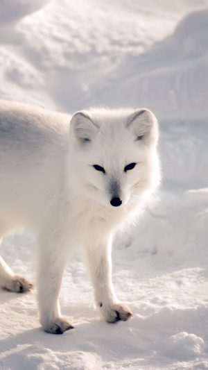 White Artic Fox Snow Winter Animal iPhone 7 wallpaper