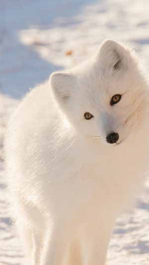 Winter Animal Fox White iPhone 7 wallpaper