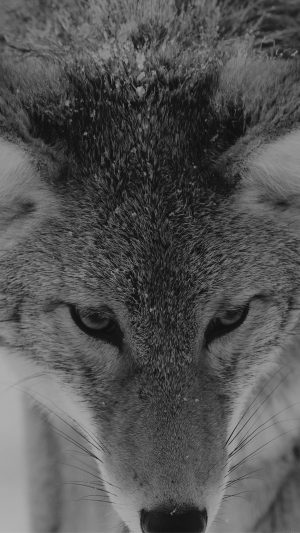 Wolf Snow Animal Dark Bw Levi Saunders iPhone 7 wallpaper